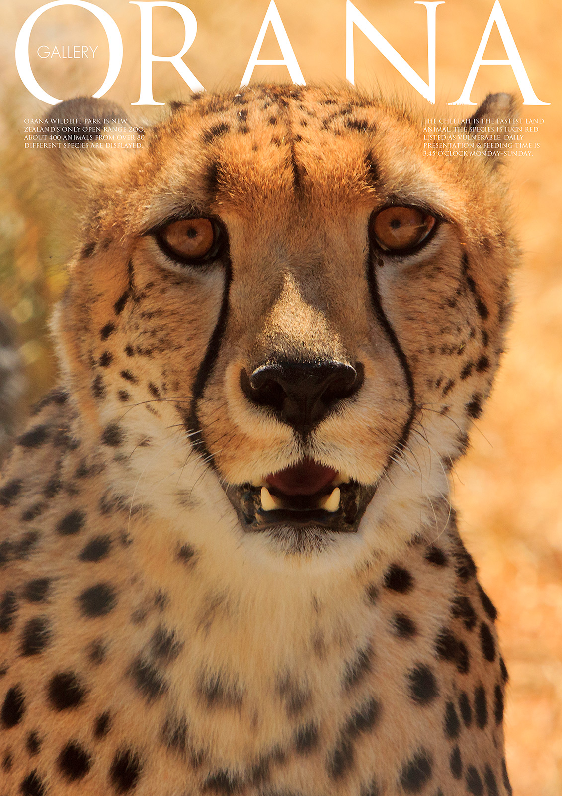 Wildlife Photo portrait of a Cheetah at Orana Wildlife Park
