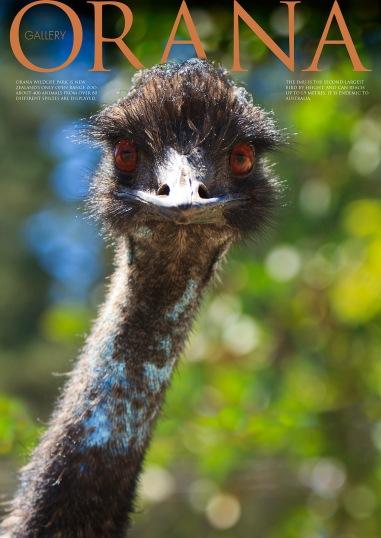 Wildlife Photo portrait of an Emu at Orana Wildlife Park
