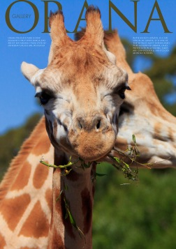 Wildlife Photo portrait of a pair of Rothschild's Giraffes feeding at Orana Wildlife Park