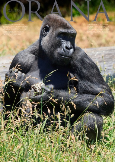 Wildlife Photo portrait of a male Gorilla feeding at Orana Wildlife Park