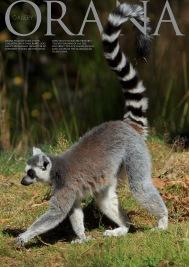 Wildlife Photo portrait of a Lemur at Orana Wildlife Park