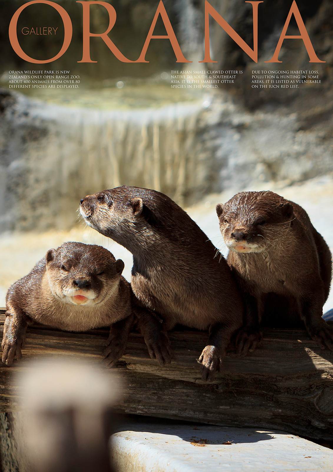 Wildlife Photo portrait of three Asian small clawed Otter at Orana Wildlife Park