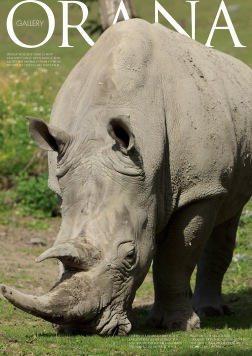 Wildlife Photo portrait of a White Rhinoceros grazing at Orana Wildlife Park