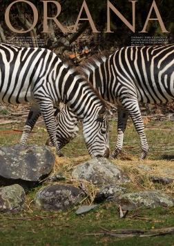 Wildlife Photo portrait of a pair of Chapman's Zebra grazing at Orana Wildlife Park