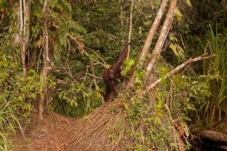 Mario_Orangutan-2101