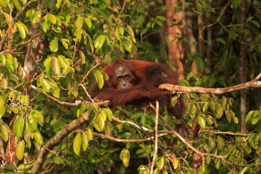 Mario_Orangutan-2109