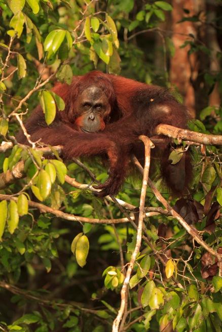Mario_Orangutan-2112-2