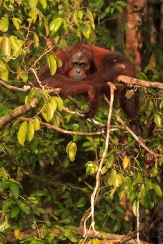 Mario_Orangutan-2112