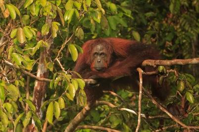 Mario_Orangutan-2131