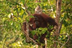 Mario_Orangutan-9774