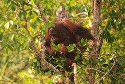 Mario_Orangutan-9775