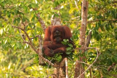 Mario_Orangutan-9778